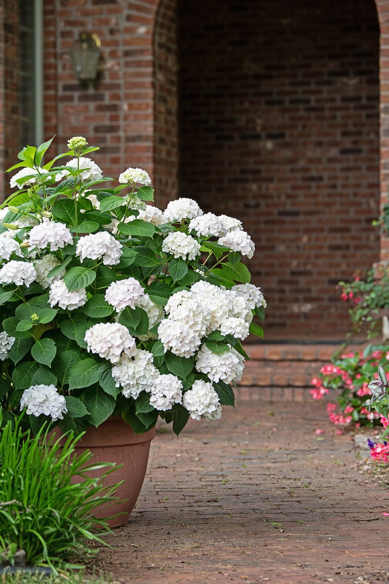 Growing Hydrangeas In Pots Traditional Home