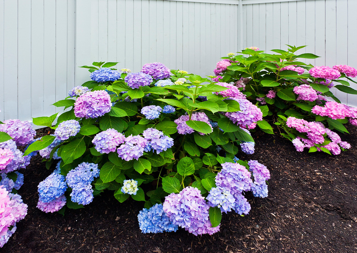 Plan a colorful perennial garden traditional home its always a good idea to consider the background framing your garden when choosing your color scheme petals of pink and blue hydrangea create a striking altavistaventures Images