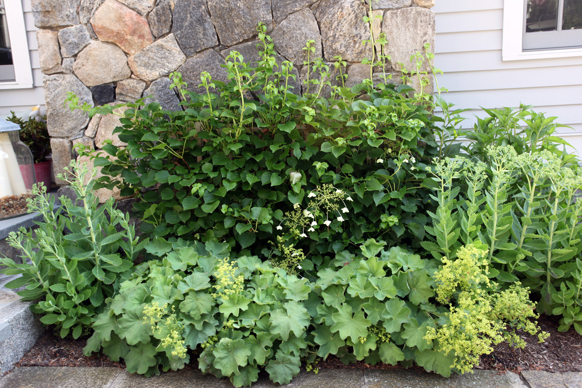 Here, Backed By A Climbing Hydrangea, Ladyu0027s Mantle, With Its Rounded  Leaves And Delicate Yellow Blooms, Softens The Front Of A Perennial Garden  Next To ...