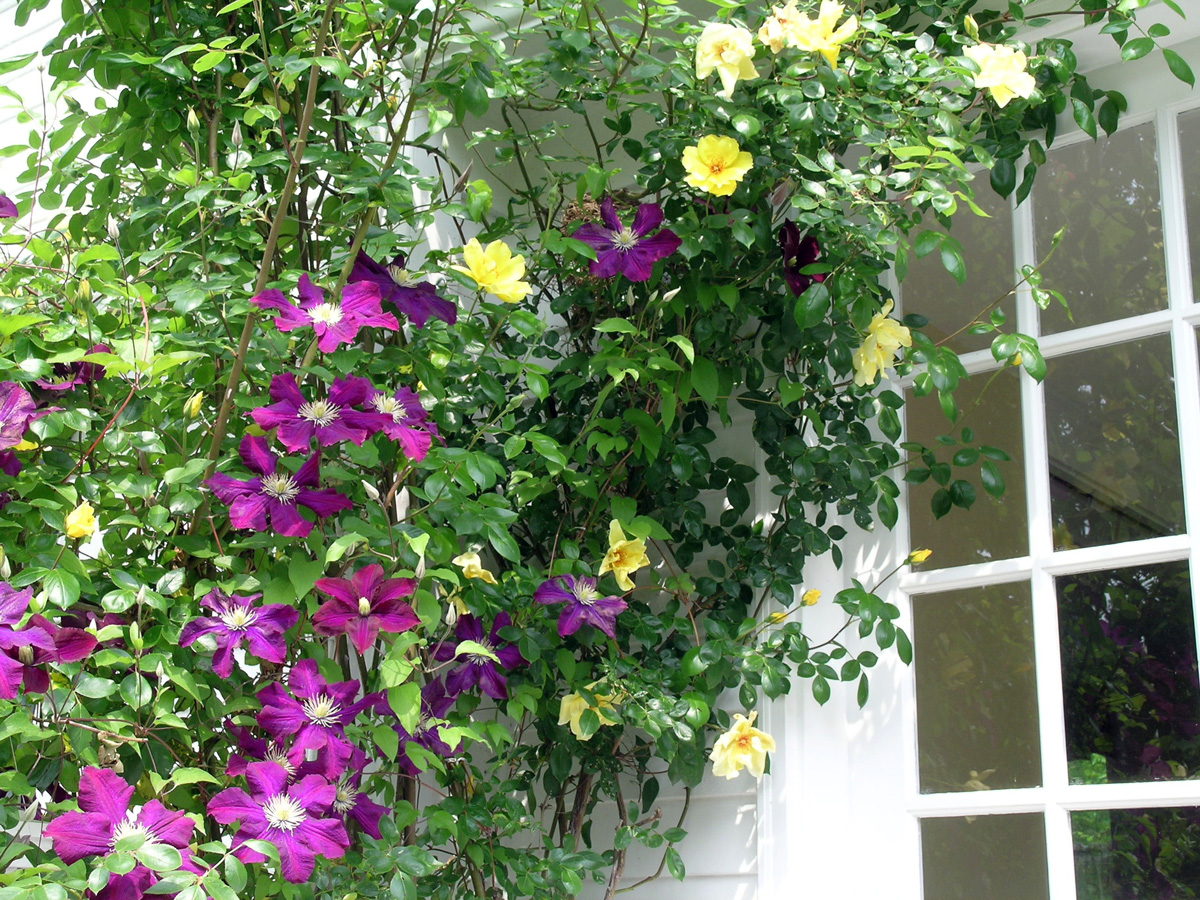 Plan a colorful perennial garden traditional home a stunning color combination of purple and yellow is displayed against the white clapboards of this home by intertwining clematis and climbing yellow roses mightylinksfo