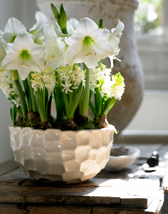 How To Force Bulbs For Gorgeous Indoor Bloom And Color Traditional