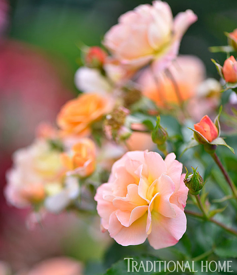 "For Heather, the highlight is roses—lots and lots of roses. ""I love the 'Gertrude Jekyll' English rose the best,"" she says. ""But my go-to rose is climbing 'Blaze' because it's strong—the flowers hold up even when it's raining. And for part-shade, you just can't beat 'William Baffin'."""